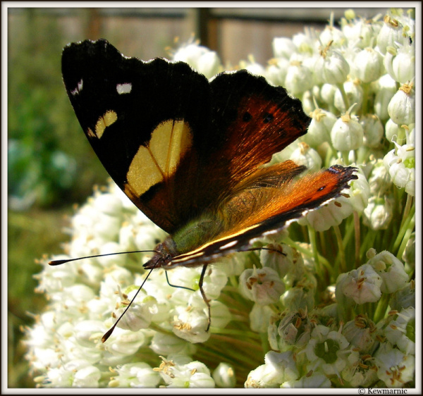 The Yellow Admiral Butterfly