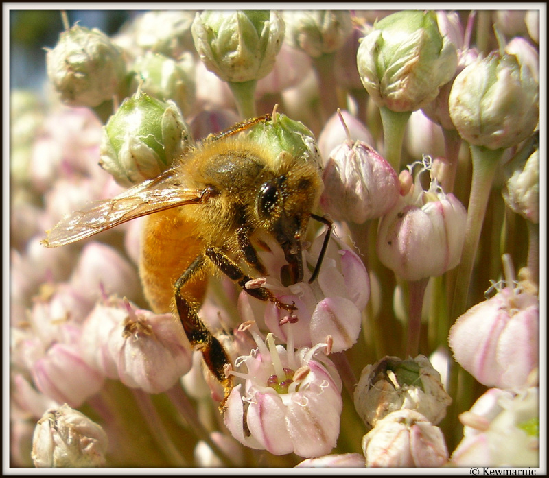 A Little Bee Enjoys The Leek Flowers