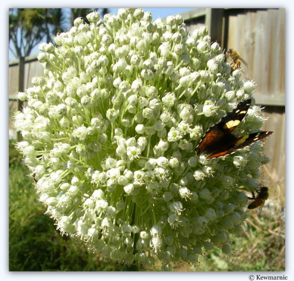 Bees And A Butterfly Gather On A Leek Flower