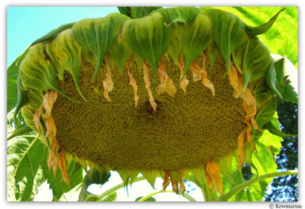 A Giant Sunflower Bows Her Seed-Filled Head