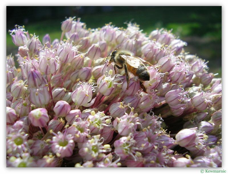 The Pink Leek Flower