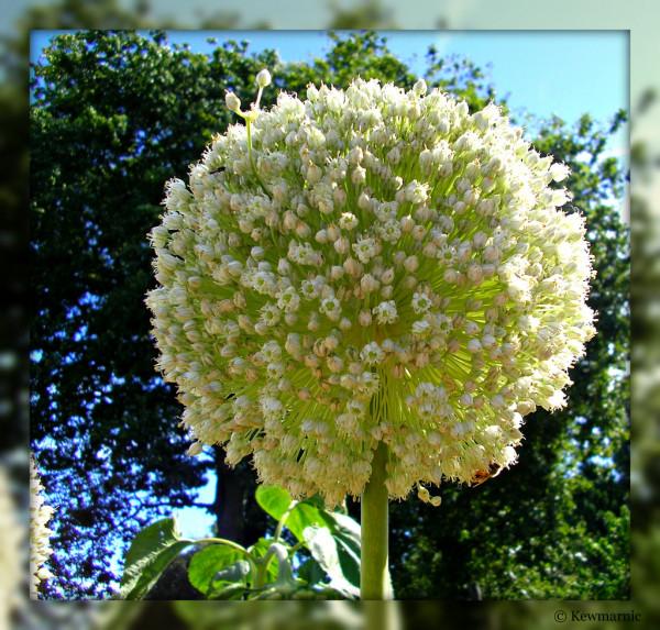 The Leek Flower