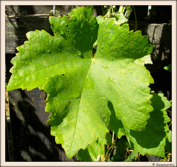 New Leaf On The Grapevine