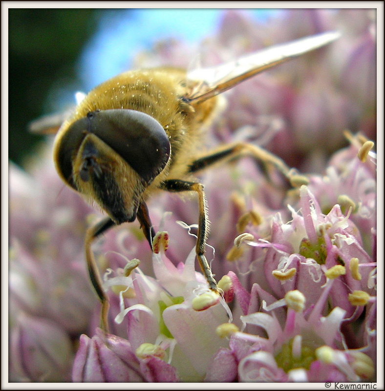 A Drone Fly On The Leek Flowers