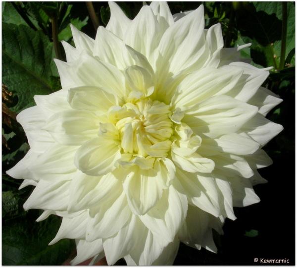 The White Dahlia Blooms