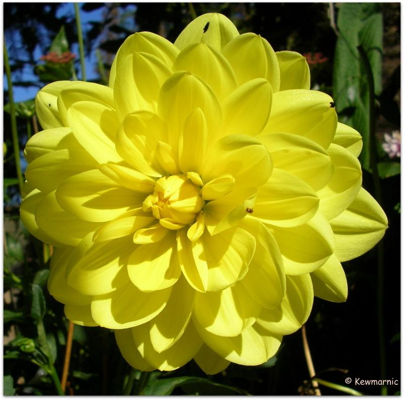 The Yellow Dahlia