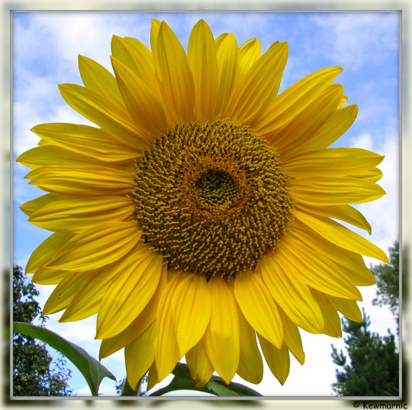 The Giant Sunflower