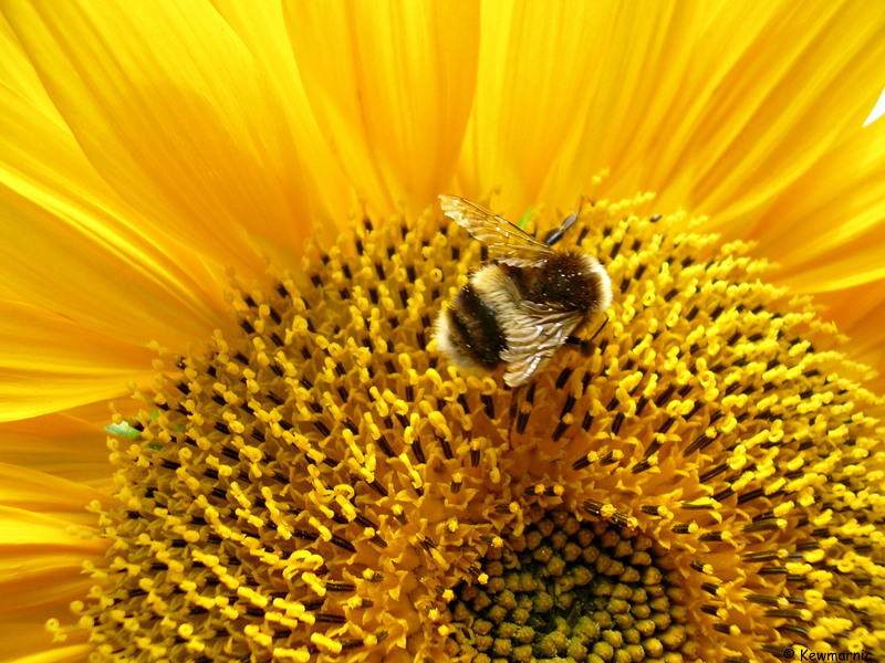 Baby Bumblebees Fear No Giant Sunflowers!