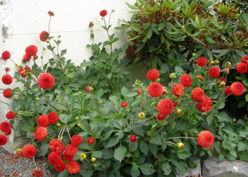 The Red Dahlia Plant Amp Nature Photos Lone Kereru