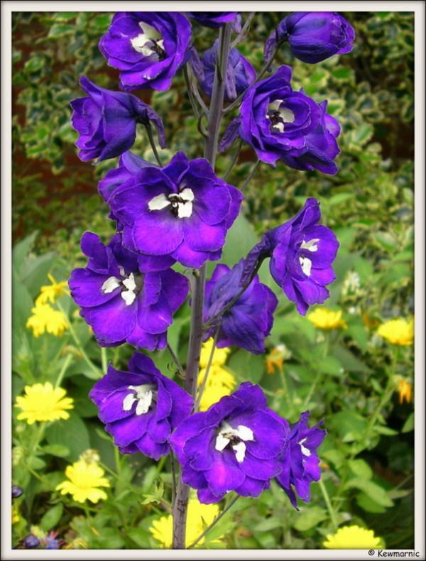 The Tall Blue Flower
