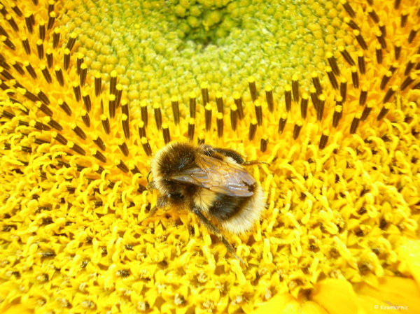 A Baby Bumblebee Navigates a Giant Sunflower