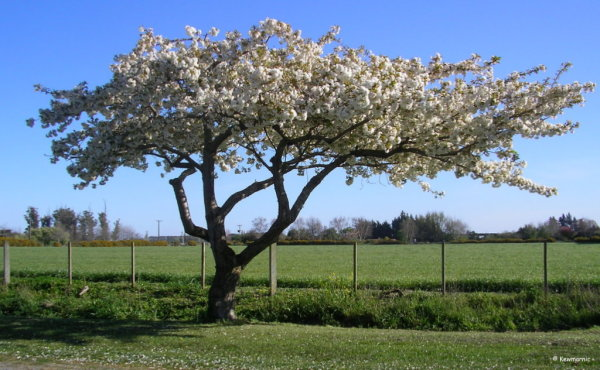 Blossoms In The Spring