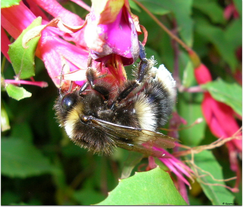 Bumblebees - They Like To Hang Around This Place