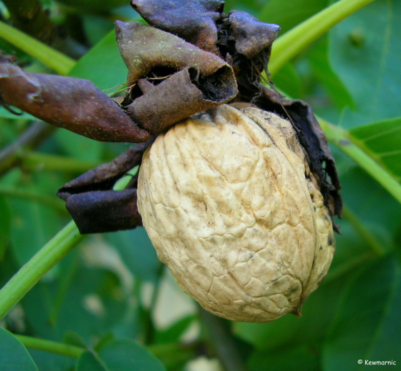 The Hatching Of The Walnut