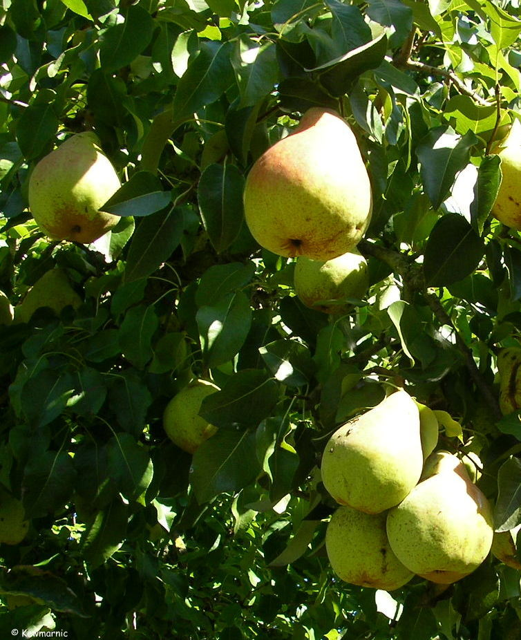 The Pears