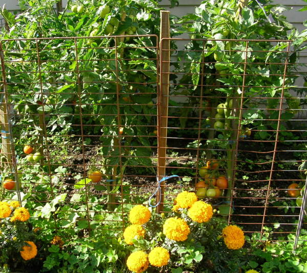 Marigolds Protect Some Growing Tomatoes