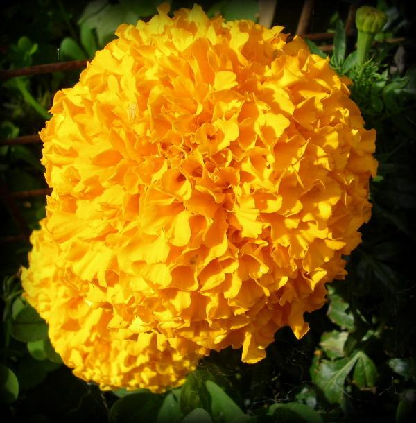 An Orange African Marigold