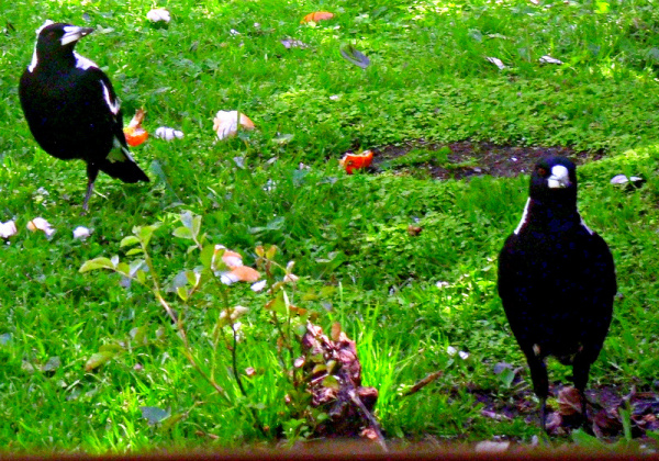 The Magpies Want  Some Breakfast