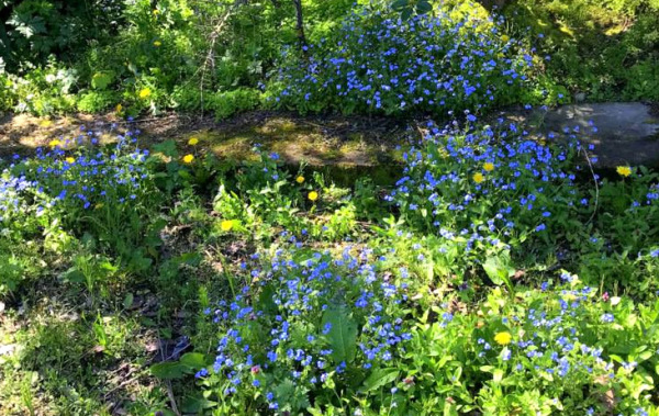 Forget-Me-Nots On The Path