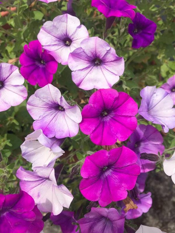 Pretty Purples