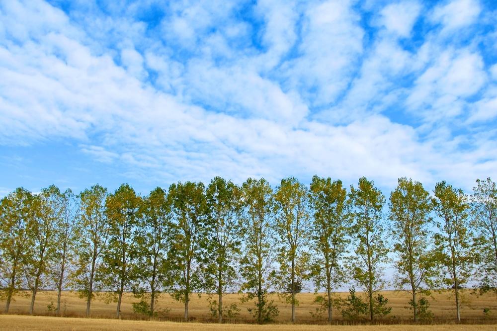 Birch trees on Camino, Oct 2011