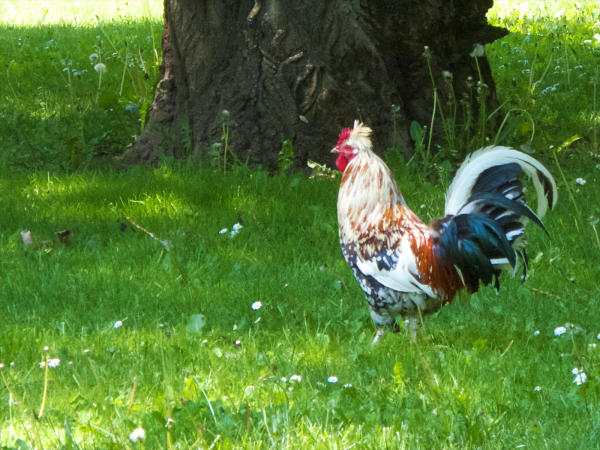 Rooster in city park in Leon, Spain