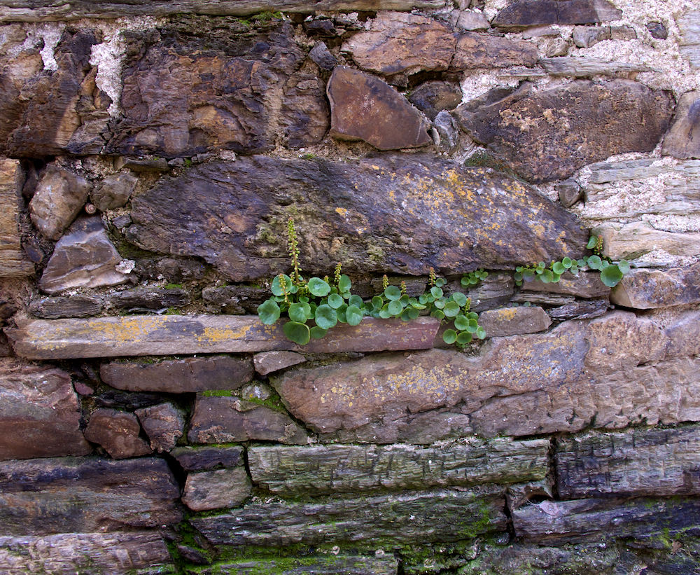 Plant life on stone wall, El Acebo, Spain