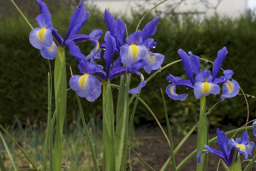 Irises, St. Jean Pied de Port