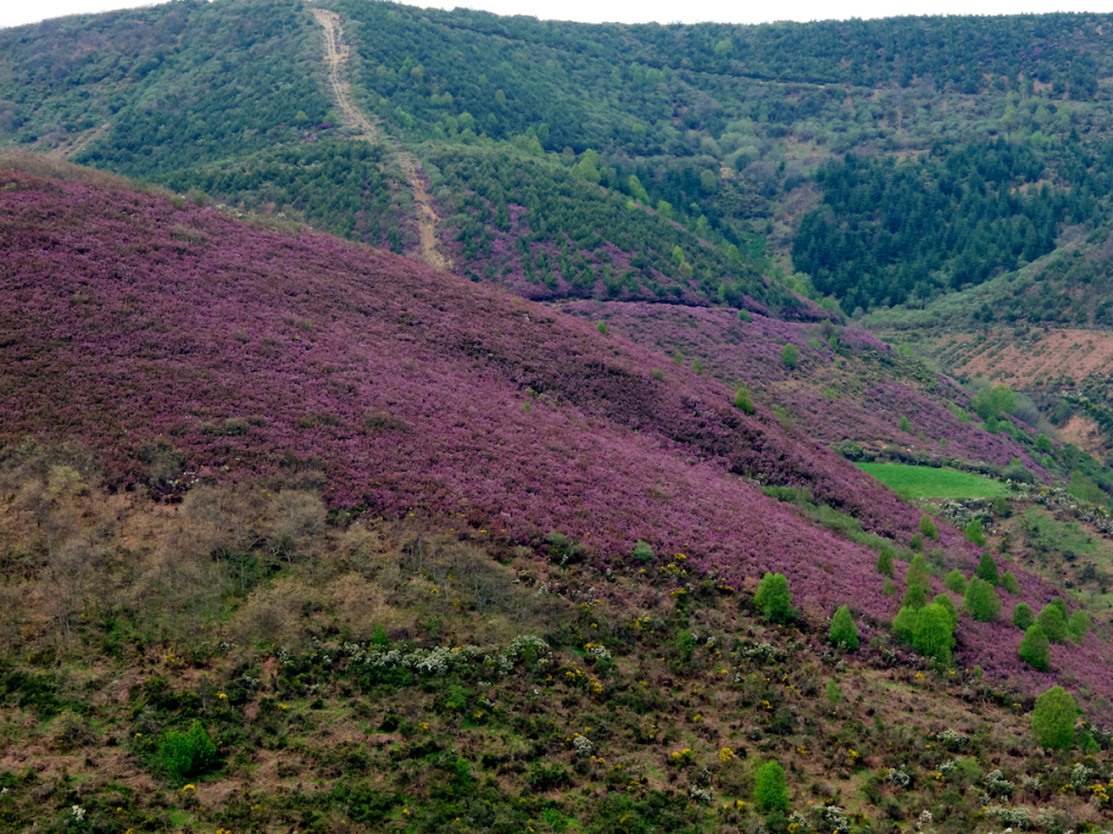 Heather-covered hills