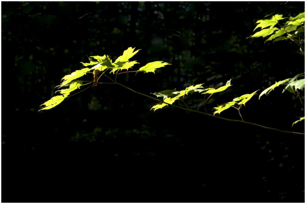 Summer maple