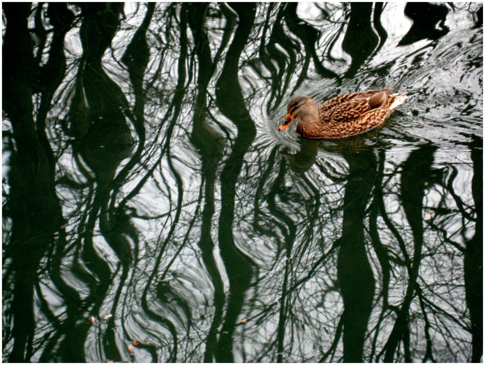 Duck ripples