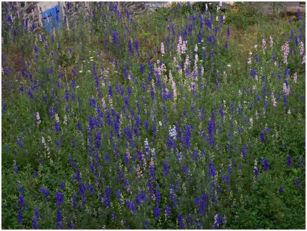 Hillside flowers