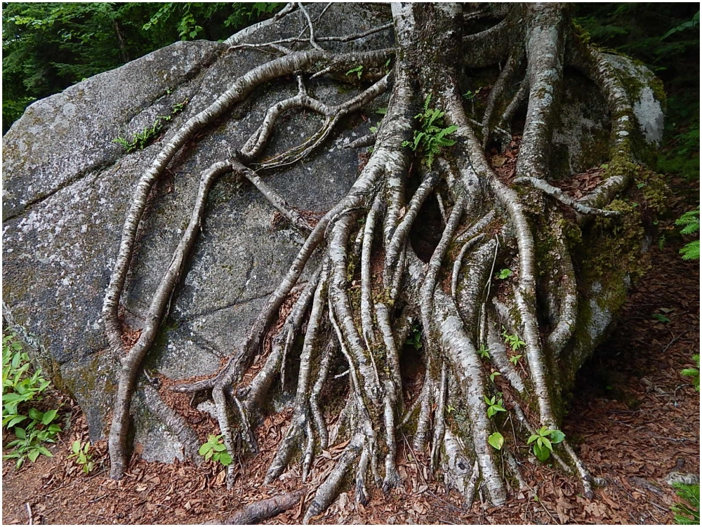 Rooted to the rock