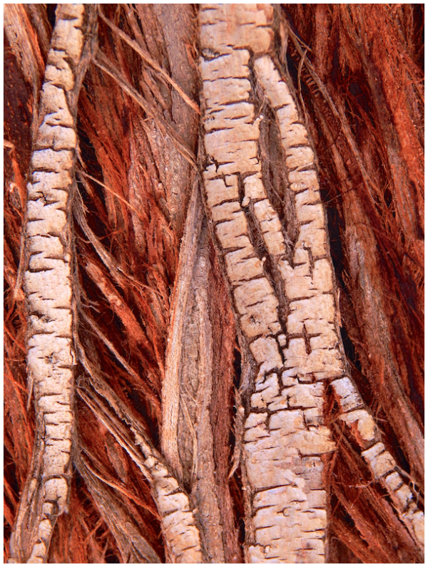 Desert tree bark