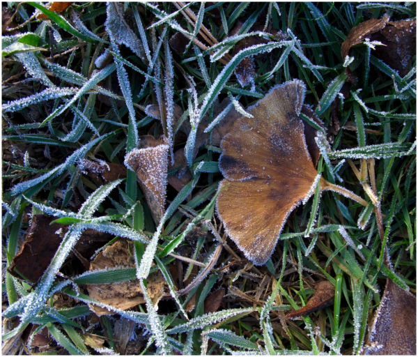 Frosted ginkgo leaf