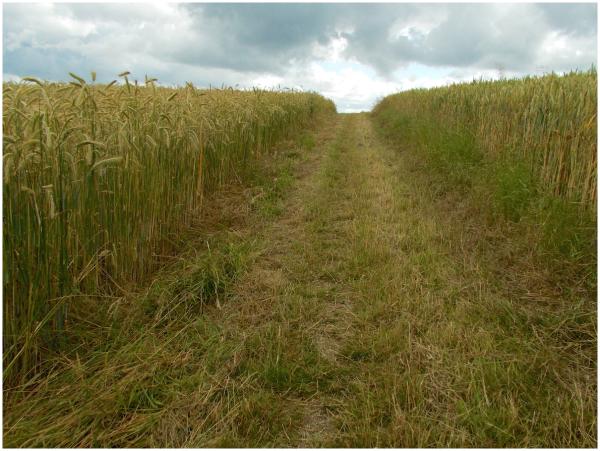 Through the wheatfields