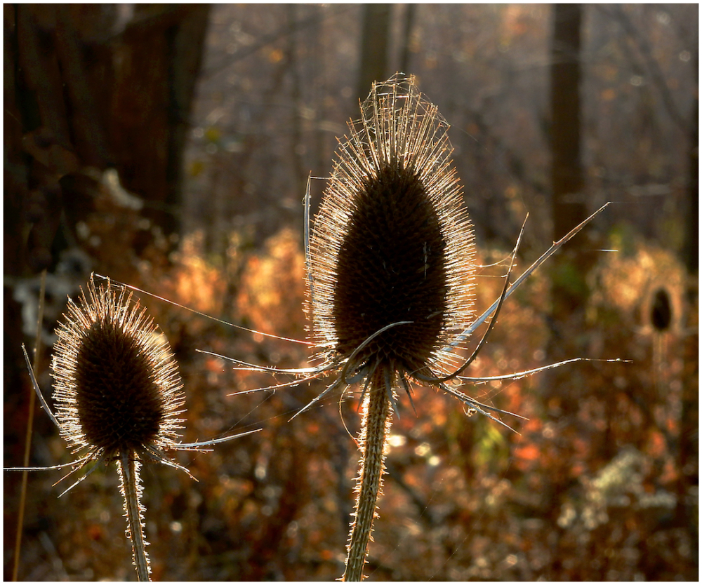 Two Teasels