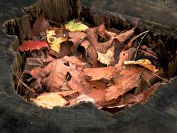 Stump full of leaves