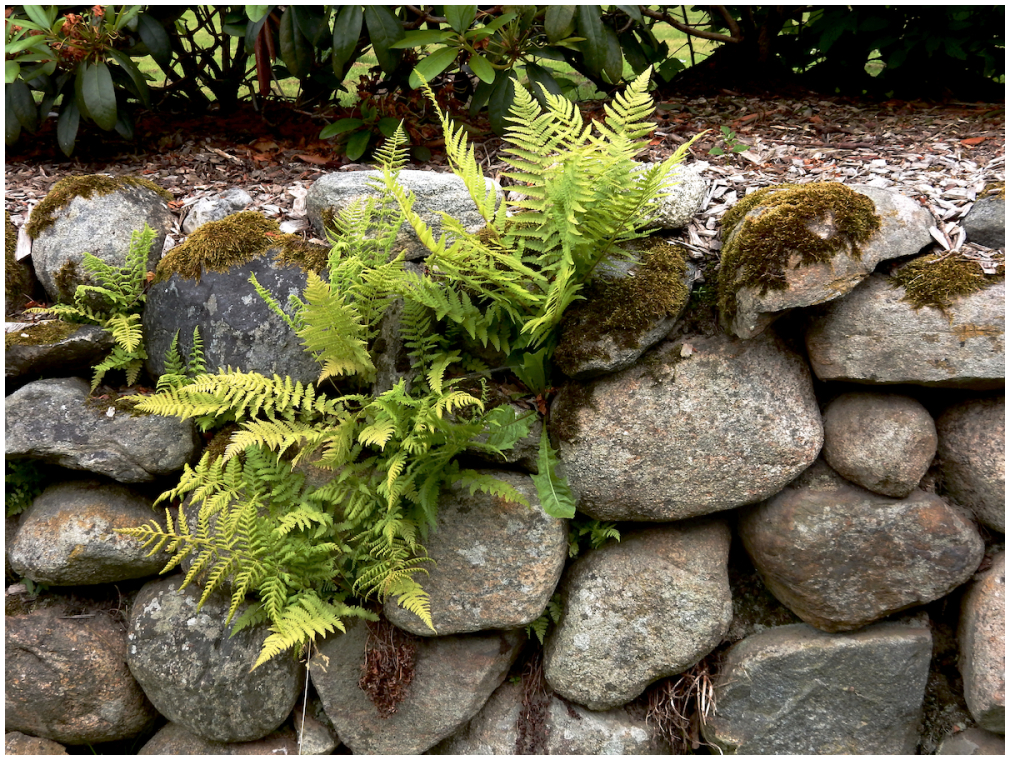 Rock wall with new ferns