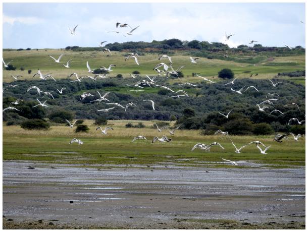 A gaggle of gulls