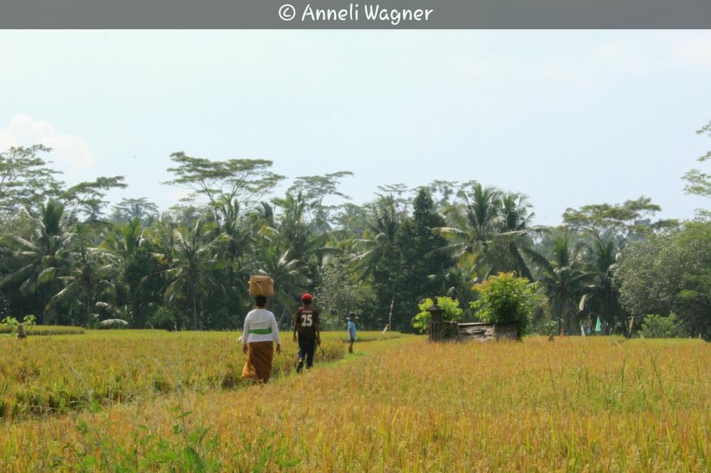 Rice field Farmers
