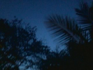 Coconut tree in evening
