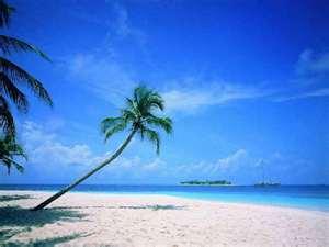 sea coconut tree