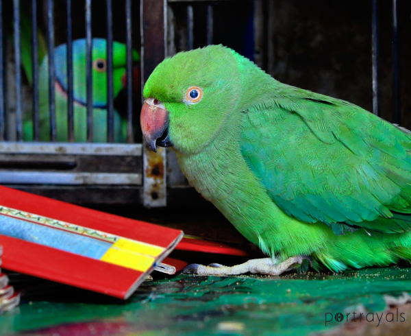 Parrot talk and fortune telling