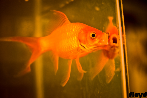 Mike's goldfish hanging out in the kitchen