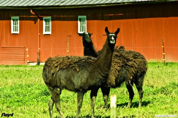 2 llama's hanging outside New Washington