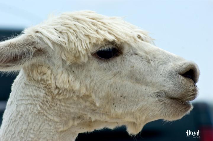 alpaca in port clinton, ohio