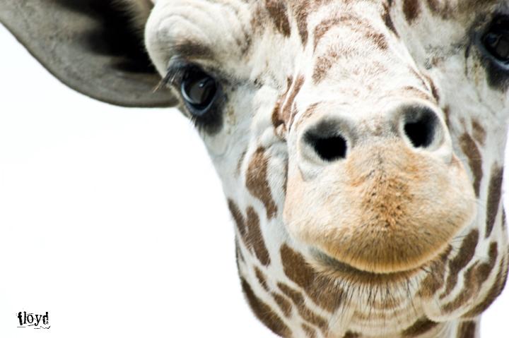 giraffe in port clinton, ohio