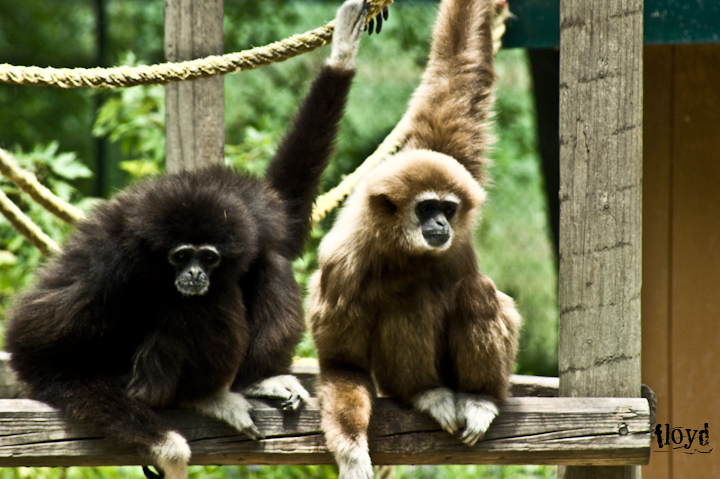 two gibbons hanging out