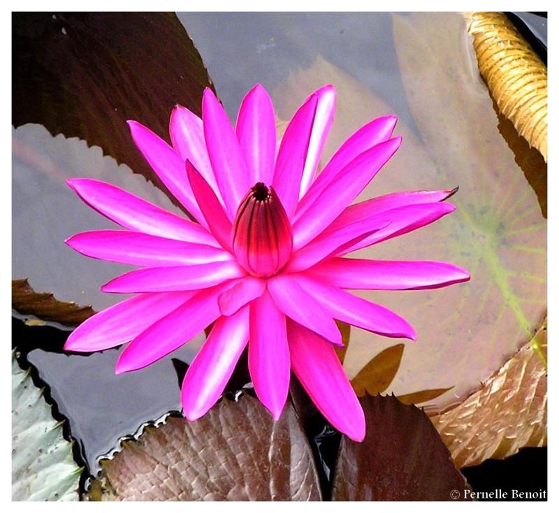 Le lotus rose